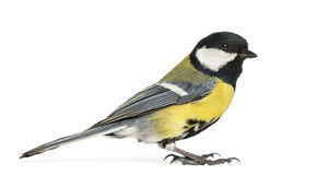 Male great tit, Parus major royalty free stock photography