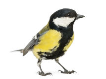 Male great tit, Parus major Royalty Free Stock Photos