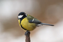 Male Great Tit perched on a branch. In autumn, with the head turned Royalty Free Stock Images