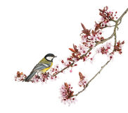 Male great tit perched on a flowering branch, Parus major Stock Photos