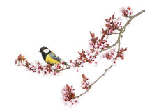 Male great tit perched on a flowering branch, Parus major. Isolated on white royalty free stock image