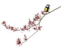 Male great tit perched on a flowering branch, Parus major Stock Photo