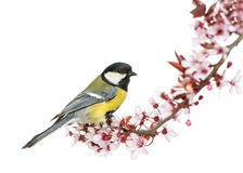 Male great tit perched on a flowering branch, Parus major. Isolated on white royalty free stock photos