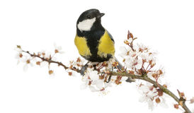 Male great tit perched on a flowering branch, Parus major. Isolated on white royalty free stock photo