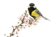 Male great tit perched on a flowering branch, Parus major. Isolated on white stock photo