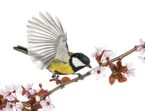 Male great tit taking off from a flowering branch - Parus major. Isolated on white stock image