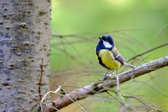 Male Great Tit on Tree Branch Stock Photos