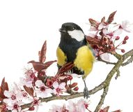 Male great tit tweeting, Parus major, isolated. On white stock images