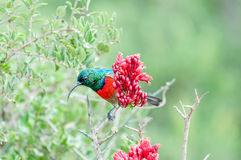 Male greater double-collared sunbird Stock Photo
