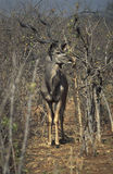Male of greater kudu gazelle, Botswana. Royalty Free Stock Photography