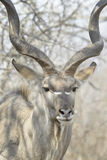 Male greater kudu portrait Royalty Free Stock Photography