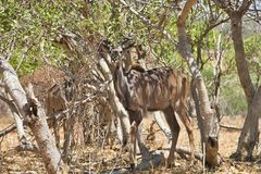 Male Greater kudu, Tragelaphus strepsiceros, in Chobe National Park, Botswana Royalty Free Stock Photos