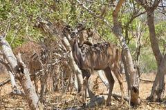 Male Greater kudu, Tragelaphus strepsiceros, in Chobe National Park, Botswana Royalty Free Stock Photos