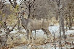 male Greater kudu, Tragelaphus strepsiceros in the Etosha National Park, Namibia Stock Images