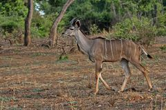 Male Greater Kudu, Tragelaphus strepsiceros, in South Luangwa, Zambia. One Male Greater Kudu, Tragelaphus strepsiceros, in South Luangwa, Zambia Royalty Free Stock Photo
