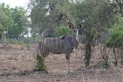 Male Greater Kudu, Tragelaphus strepsiceros, in South Luangwa, Zambia. One Male Greater Kudu, Tragelaphus strepsiceros, in South Luangwa, Zambia Royalty Free Stock Image