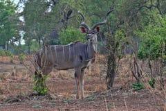 Male Greater Kudu, Tragelaphus strepsiceros, in South Luangwa, Zambia. One Male Greater Kudu, Tragelaphus strepsiceros, in South Luangwa, Zambia Royalty Free Stock Photography