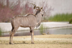 Male greater kudu Royalty Free Stock Images