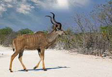 Male Greater Kudu walking across the dry dusty track in Etosha. A lone male kudu walking across the dry sandy dirt track road in Etosha national park, Namibia Stock Photography