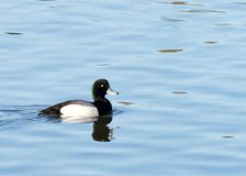 Male Greater Scaup in breeding colors swimming on calm water. A mid-sized diving duck, Greater scaup nest near water, typically on islands in northern lakes or royalty free stock photos