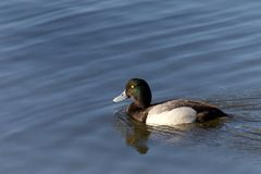 Male greater scaup swimming in a lake. Male Greater Scaup in breeding colors swimming on calm water. A mid-sized diving duck, Greater scaup nest near water Stock Photos