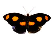 The male Grecian shoemaker butterfly of black and orange is isolated on white royalty free stock images