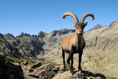 Male Gredos mountain Stock Image
