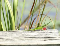 Male Green Anole. Displaying colorful dewlap royalty free stock photography