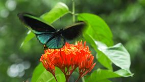 Male green birdwing butterfly. Close up of a male green birdwing butterfly feeding on a red ixoria flower stock video footage