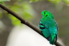 Male Green Broadbill Royalty Free Stock Photography