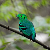 Male Green Broadbill Stock Images