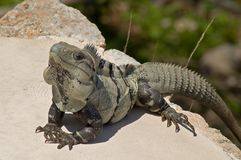 Male Green Iguana (Iguana Iguana) Royalty Free Stock Photo