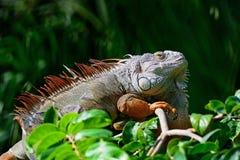 Male Green Iguana Stock Image
