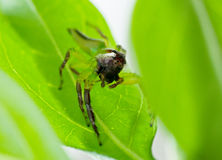 Male green jumping spider. Macro of a male green jumping spider sitting on a leaf Royalty Free Stock Photography