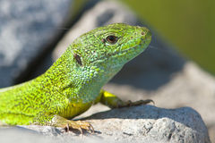 A male of green lizard  / Lacer Stock Photo