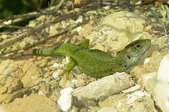 Male of green lizard (Lacerta viridis) Royalty Free Stock Photography