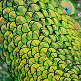 Male Green Peacock feathers Royalty Free Stock Photography