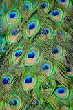 Male Green Peacock feathers Stock Photo