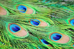 Male Green Peacock feathers Stock Photography