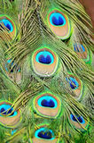 Male Green Peacock feathers Royalty Free Stock Image