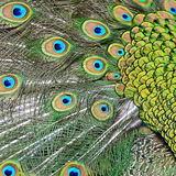 Male Green Peacock feathers Royalty Free Stock Images