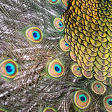 Male green peacock feathers Stock Images