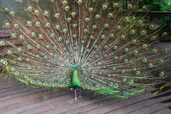 Male Green Peafowl (Peacock). Pavo muticus - from Southeast Asia. Endangered Species Royalty Free Stock Photography
