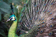 Male Green Peafowl (Peacock). Pavo muticus - from Southeast Asia. Endangered Species Royalty Free Stock Photo
