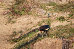 Male Green Peafowl (Peacock) in nature Royalty Free Stock Photo