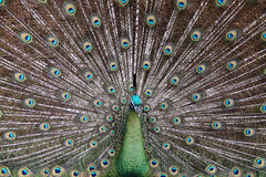 Male Green Peafowl (Peacock) - Pavo muticus. From Southeast Asia. Endangered Species Stock Photography