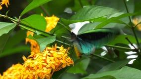 Male green priamus birdwing butterfly. Close up of a male green birdwing butterfly feeding on a yellow ixoria flower stock video