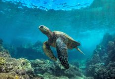 Male Green Sea Turtle with Coral Swimming on the Ocean in Maui Hawaii stock image