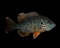 Male Green Sunfish and PumpkinSeed Sunfish Hybrid Isolated on Black stock image