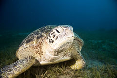 Male green turtle Royalty Free Stock Image